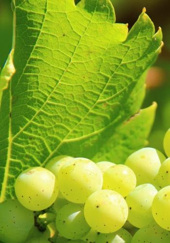 grapes-276070 (2)