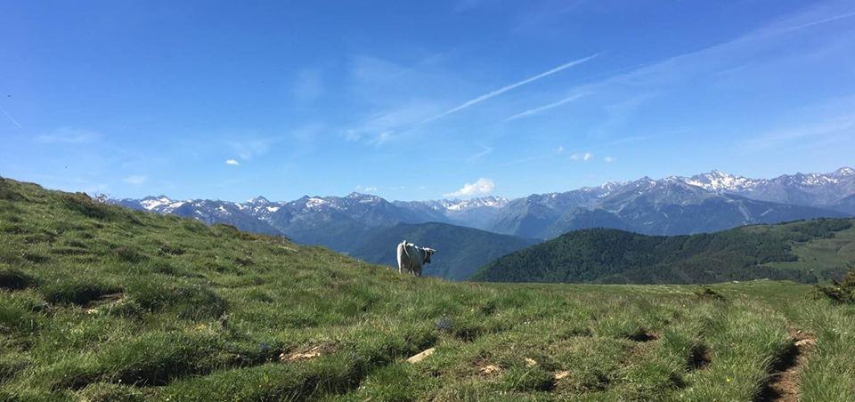 Ko på mark med udsigt over bjergtoppe