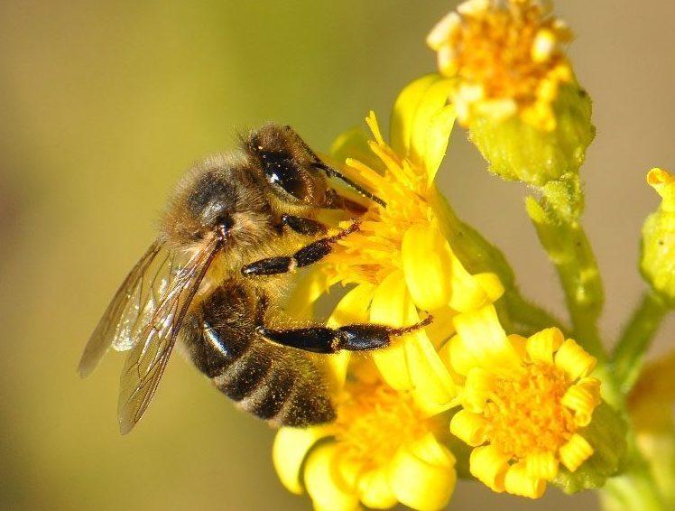 Stor bi tager nektar fra gul blomst