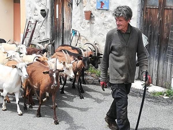 Gedeflok og hyrde får gennem lille landsby